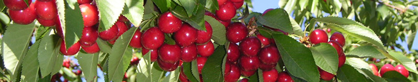 Mohr Fry Cherries